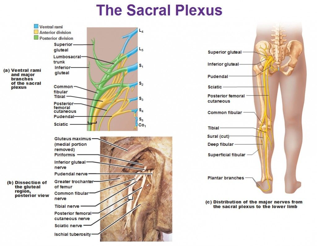 the sacral plexus anterior and posterior divisions | Yeah, they\'re ...