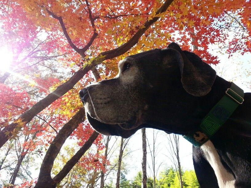 Great Dane Fall Colors Appa Great Dane Rescue Great Dane