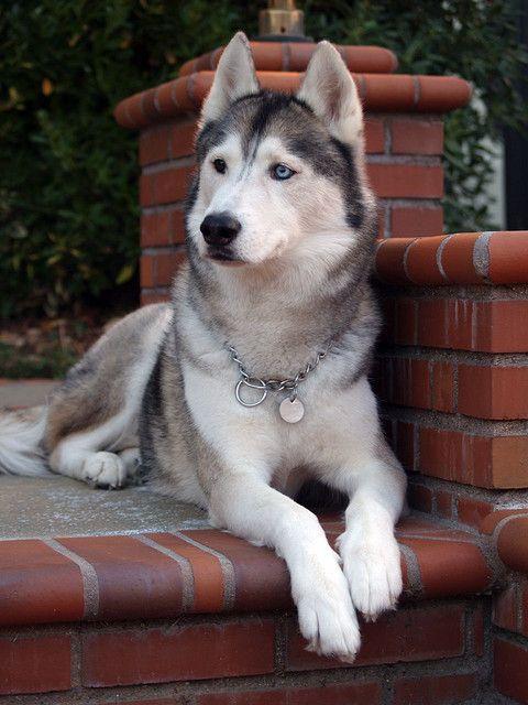 Surveying His Domain Siberian Husky Dog Dogs Beautiful Dogs