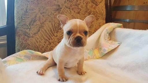 French Bulldog Puppy For Sale In Farmington Mo Adn 34429 On