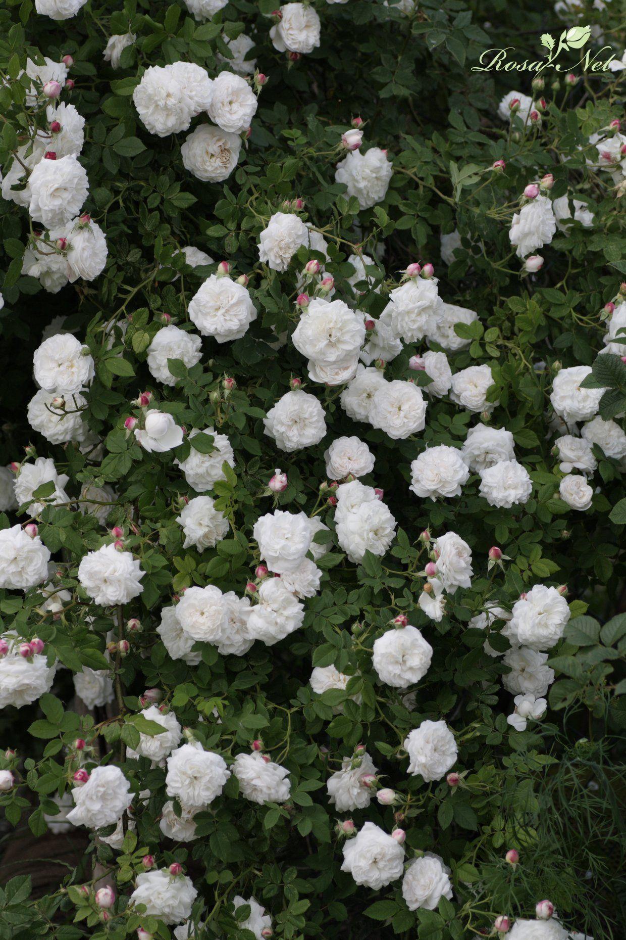10 Najpiekniejszych Roz Historycznych Wedlug Deirde Roza Alba Madame Plantier Jest To Roza Pnaca O Pieknych Bialych Kwiatach White Roses Plants Botanical