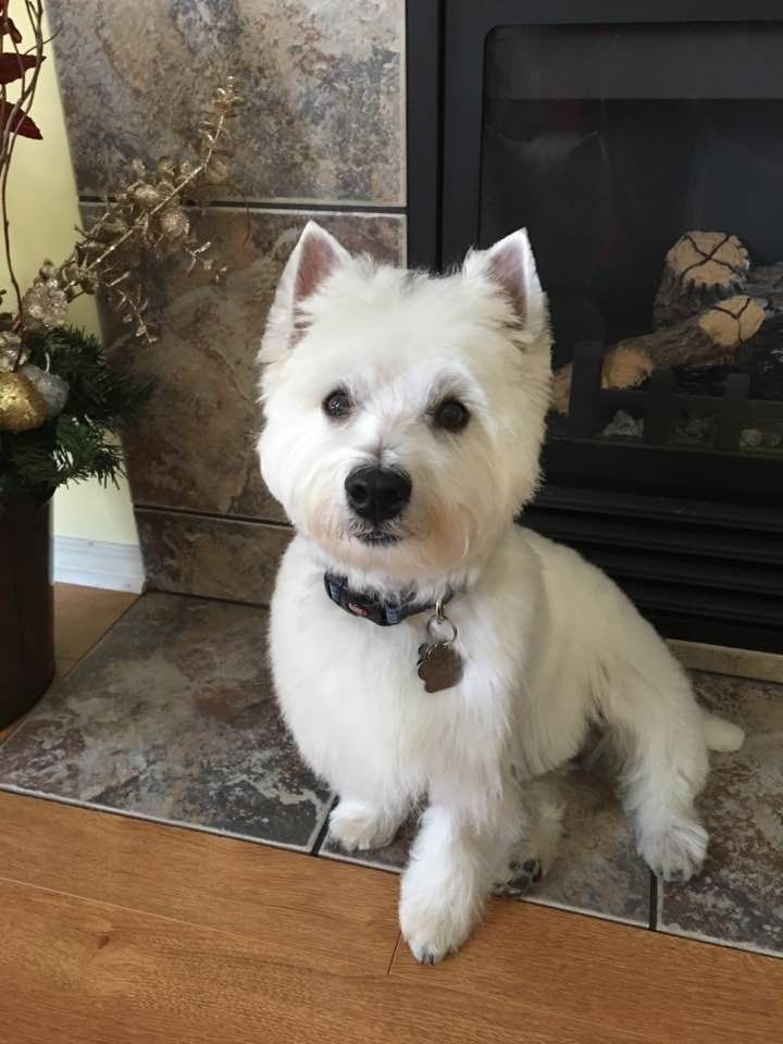 Fergus Westie Terrier Westies Dog Mom