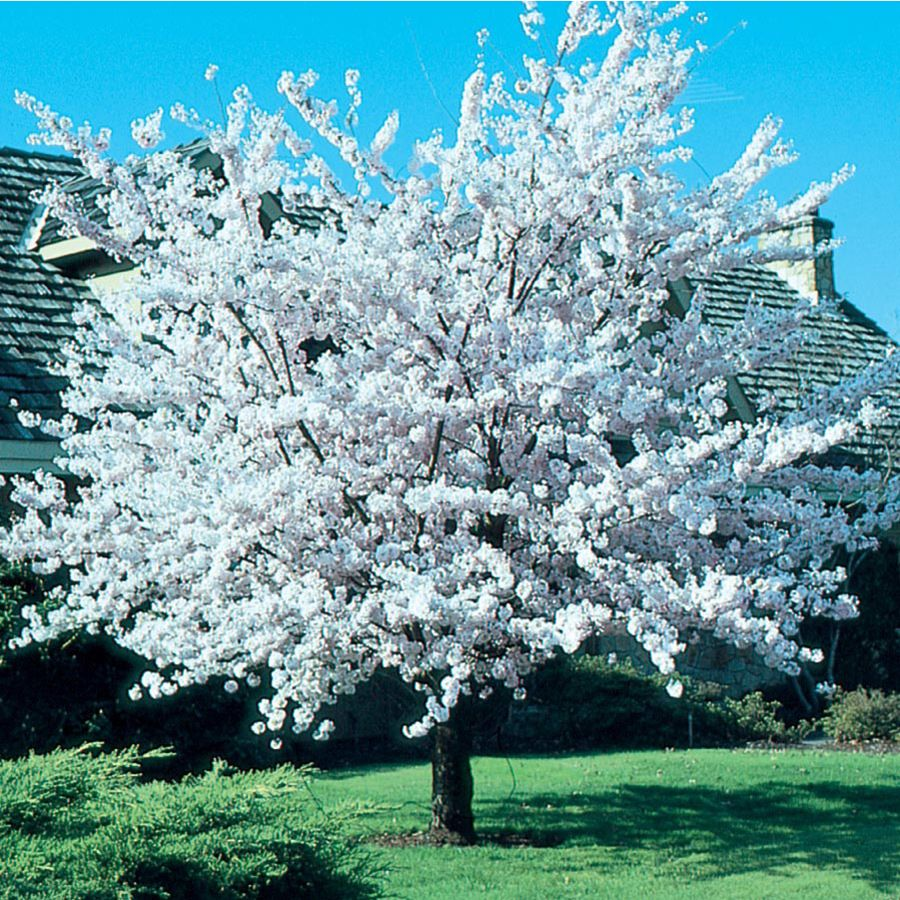 7 28 Gallon Pink Cherry Autumn Higan Flowering Tree In Pot Lowes Com Flowering Trees Potted Trees White Flowering Trees