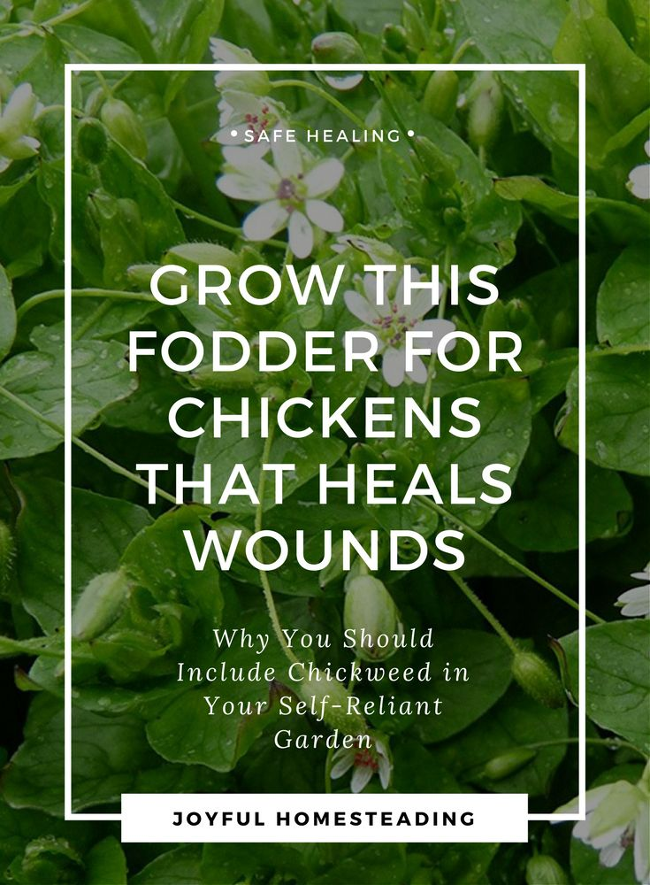 The Herb Chickweed Bee Keeping Chickweed Herbs