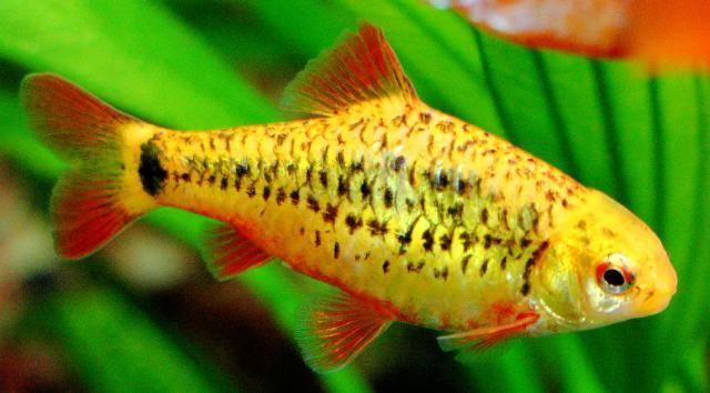 Feeding Care And Habitat Of The Freshwater Gold Barb Pet Fish Fish Fresh Water Fish Tank