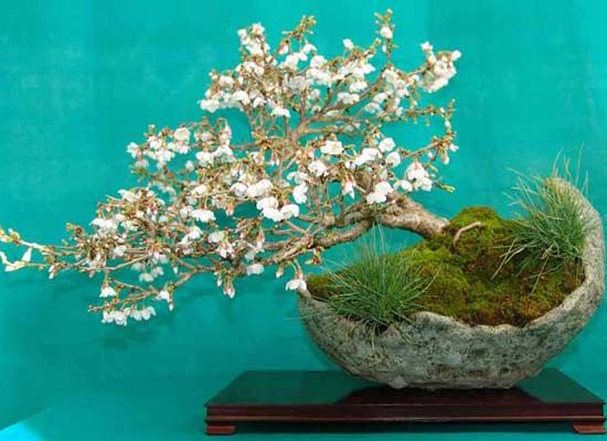 White Flower Cherry Blossom Bonsai Tree Moss And Grass Accents That Bowl Is Awesome Cherry Blossom Bonsai Tree Bonsai Tree Bonsai Nursery