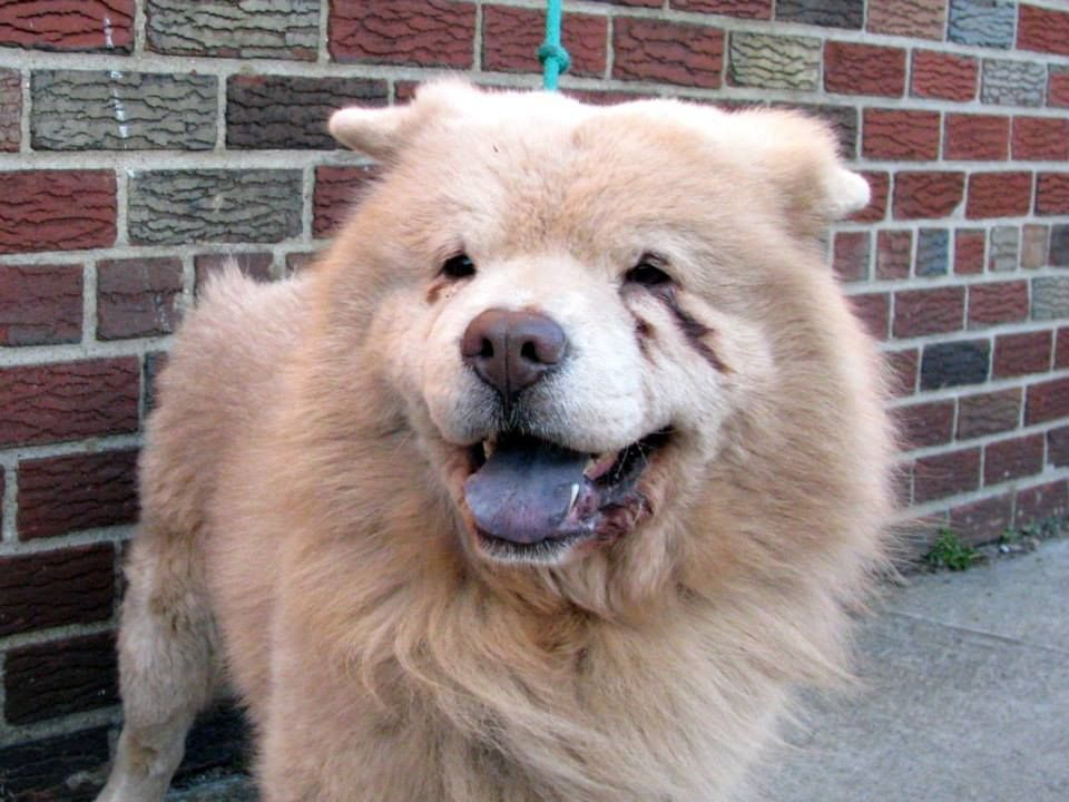 Urgent Brooklyn Center Chow A0993829 Male Tan Chow Chow 11 Mos Stray Stray Wait No