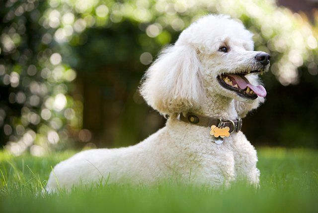 white-poodle-dog-getty-0719