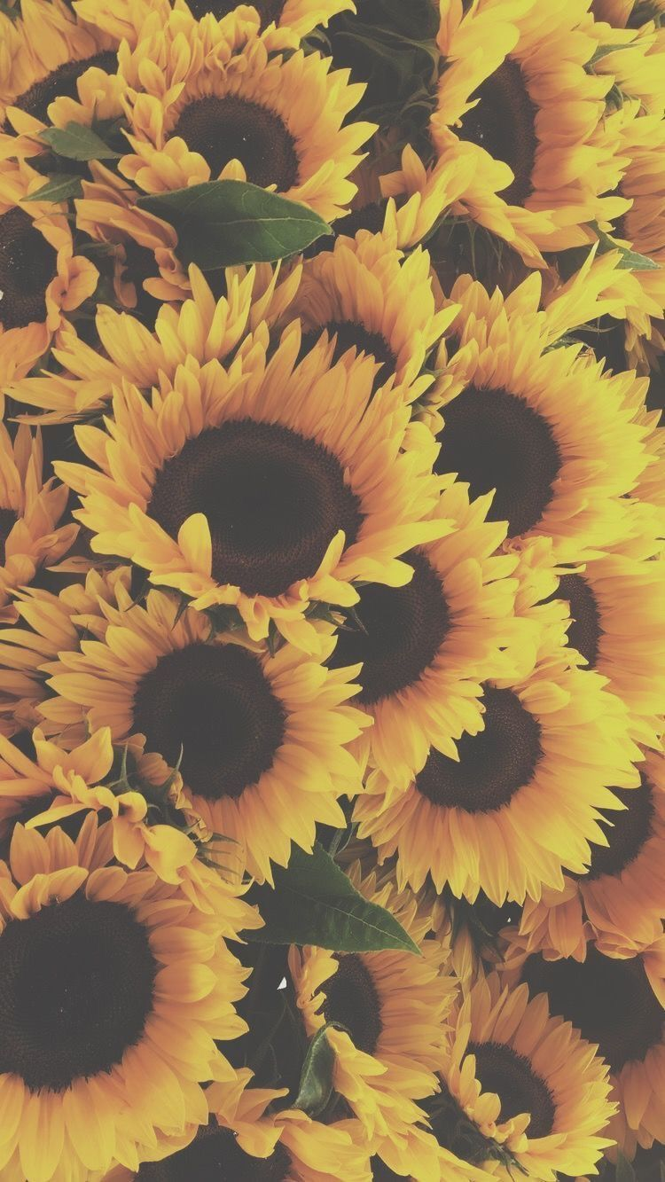 Https All Images Net Wallpaper Iphone Flowers 105 Wallpaper Iphone Flowers 105 Sunflower Wallpaper Sunflowers Background Sunflower Pictures
