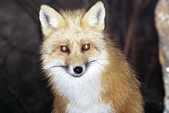 nocturnal animals foxes | nachtdieren | Pinterest | Foxes, Keys ...
