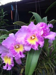 Cattleya Hybrid Epiphyte Orchidee Plante Carnivore