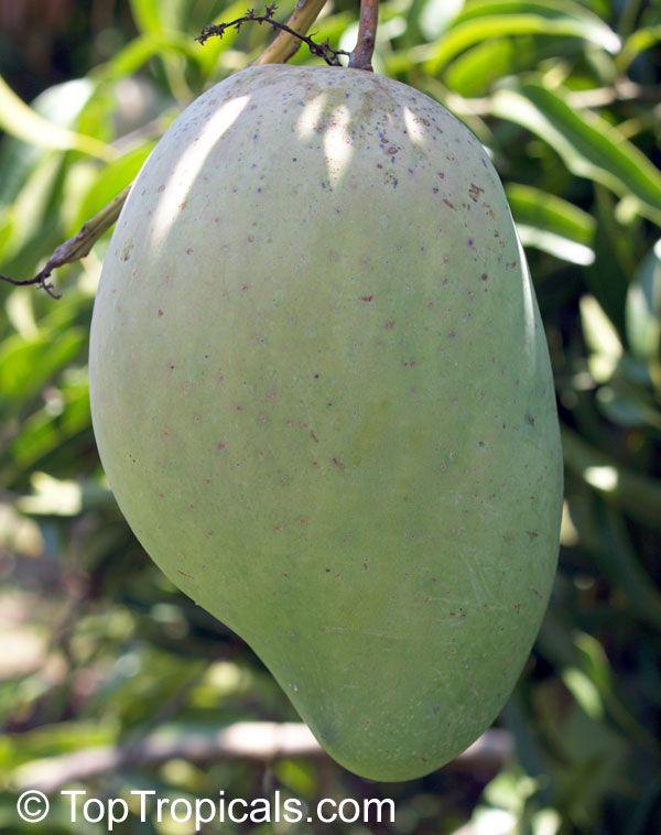 Ice Cream Mango Http Www Toptropicals Html