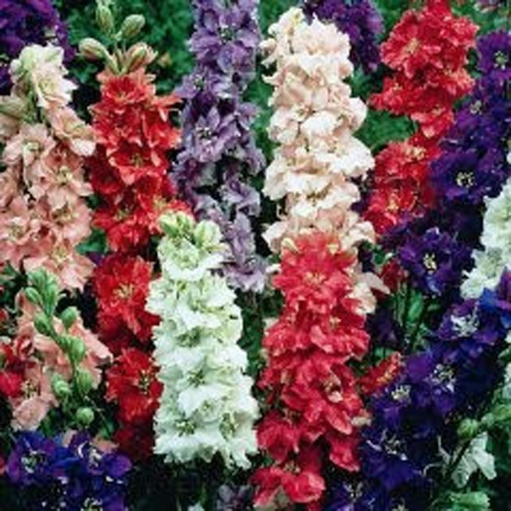 Delphinium Seed, 50+ Seeds, Giant Imperial Mix, Organic, Striking ...