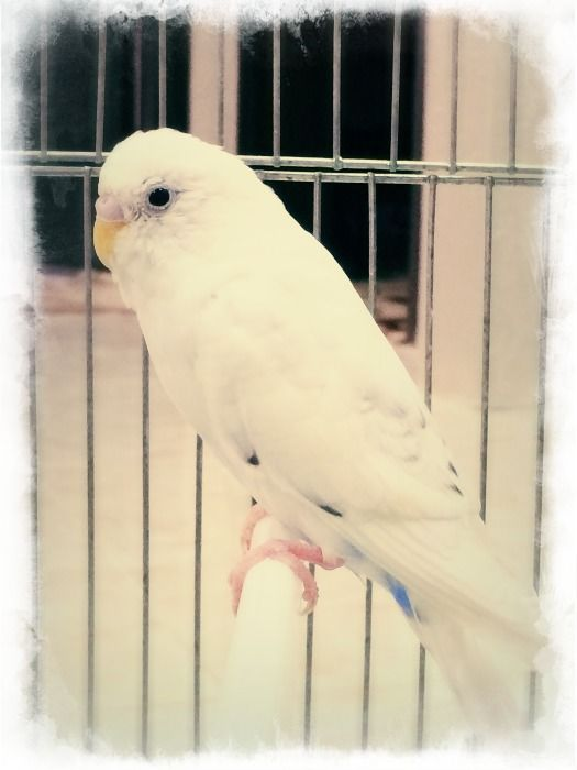 بادجي طيور الحب بادجي انجليزي بادجي هولندي طيور بادجي استرالي هوقو ينبع بادجي كرست Parrot Animals Bird