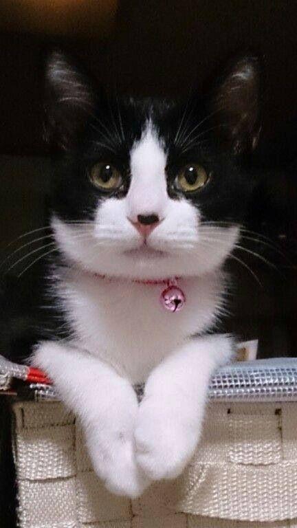 Beautiful Tuxedo Cat She Is Precious So Pretty Cute Cats