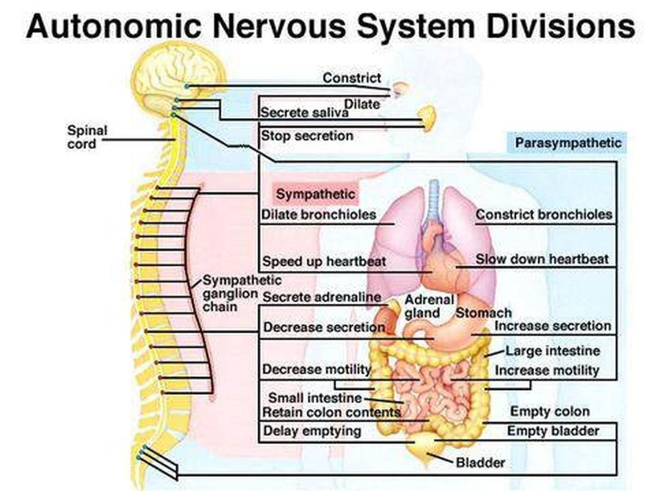Labeled Diagram Of The Nervous System