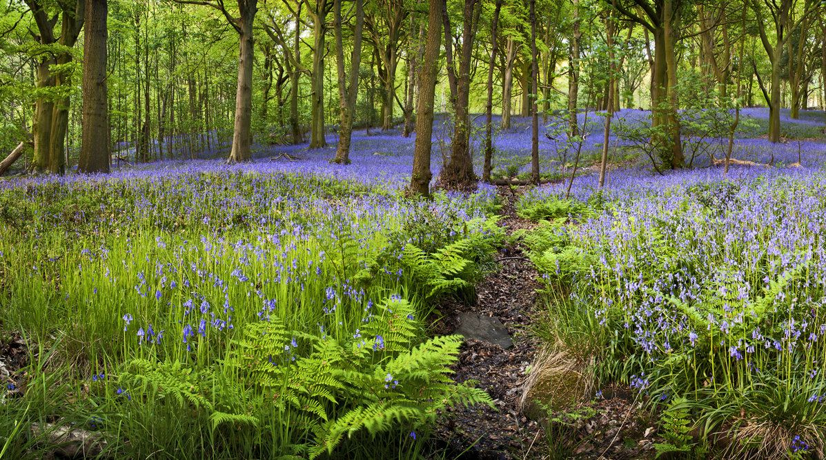 A lovely display of bluebells amongst birch trees and ferns in woodland near Skipton in North Yorkshire, England.