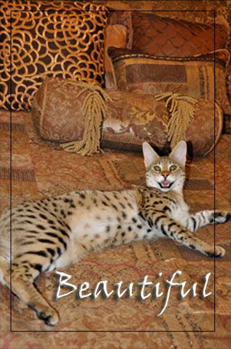 What Is The Difference Between The Bengal Cat And The Savannah Cat