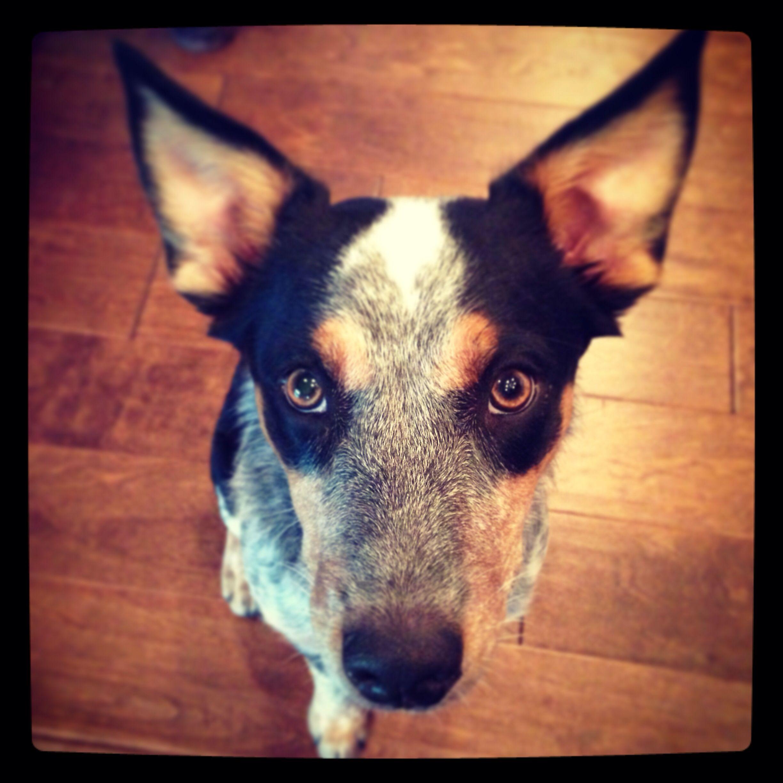 Texas Heeler 6 Months Ears Grow Quicker Than The Puppy Puppies