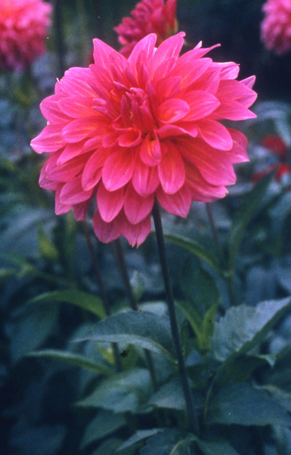 Fiori Gialli Normandia.Dahlia Normandy Delight Dahlias Garden Dahlia Flowers