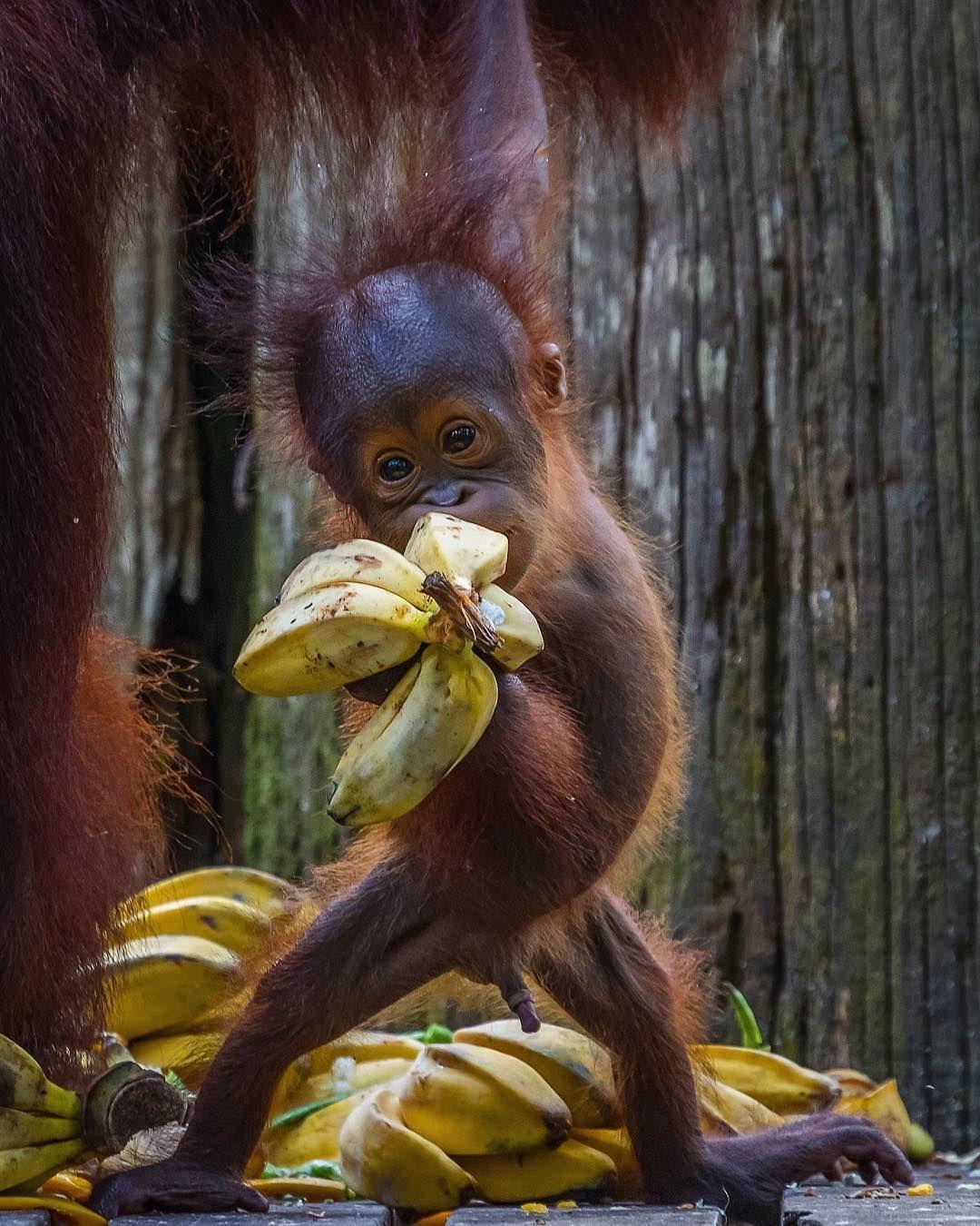 An adorable baby orangutan living in Borneo at the Sepilok ...