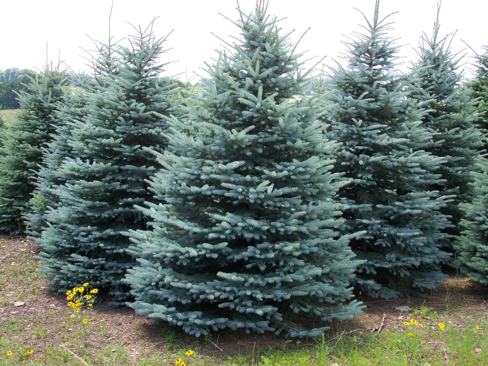 Pictures Of Landscaping With Spruce Trees 106