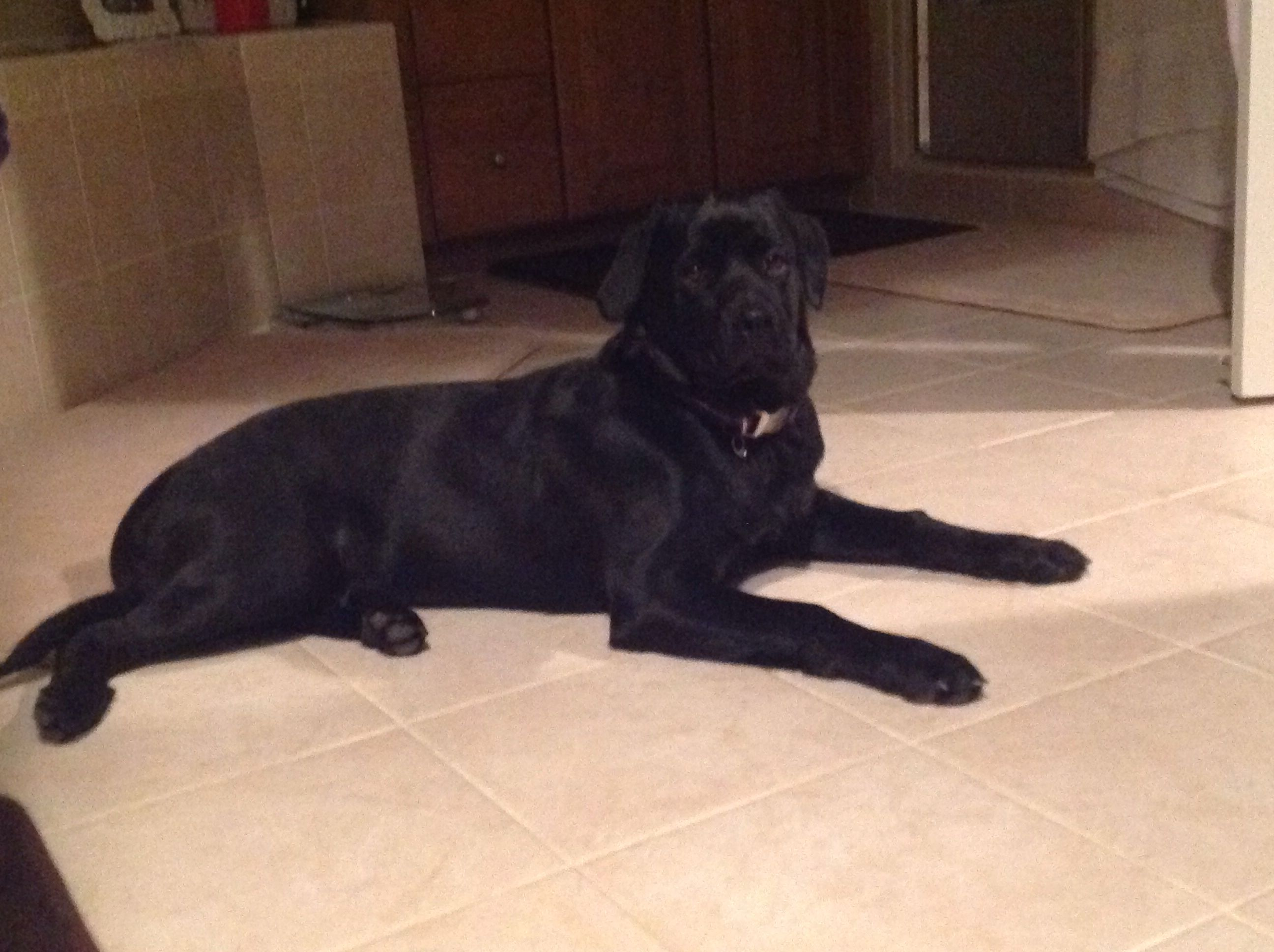 Labrottie Black Lab Mixed With Rottweiler Female 6 Months 51 Lbs Likely Grow To 75 80lbs Sweetest Pup Ever She Has Made Our Lab Dogs New Puppy Puppies