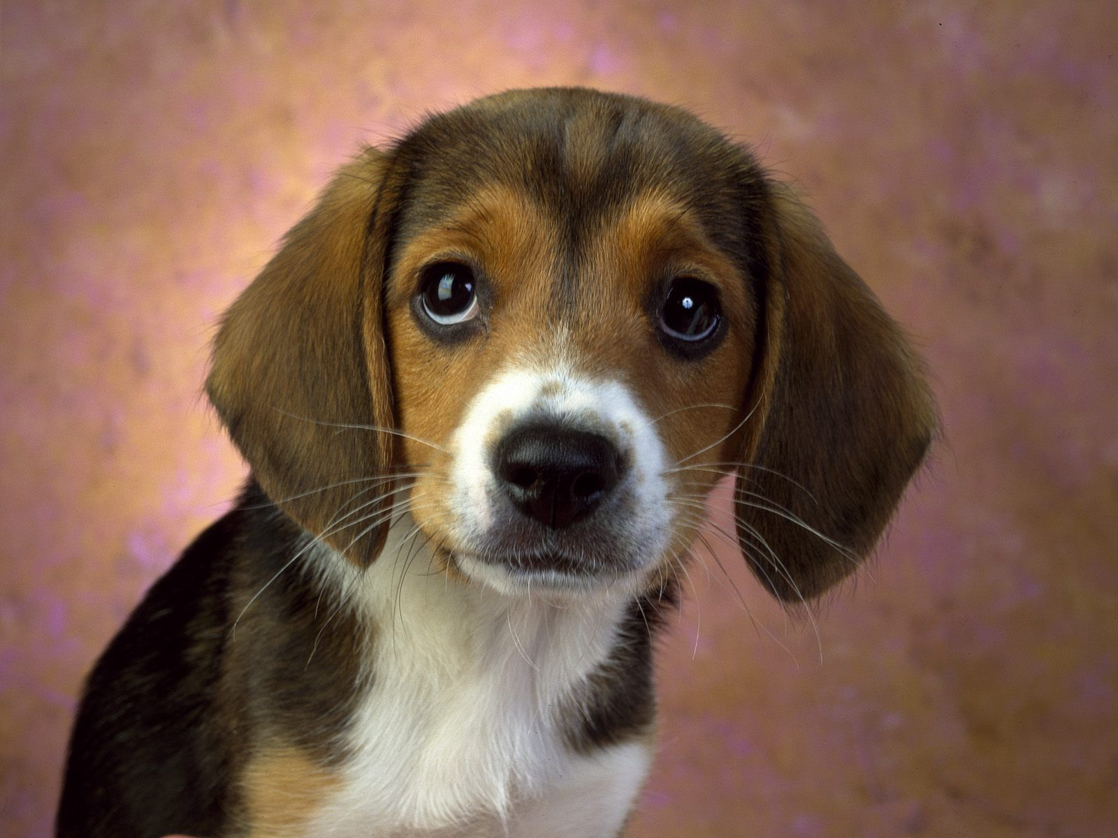 Beagle Puppy Dog Eyes If You Want Loyalty Get A Dog If You Want