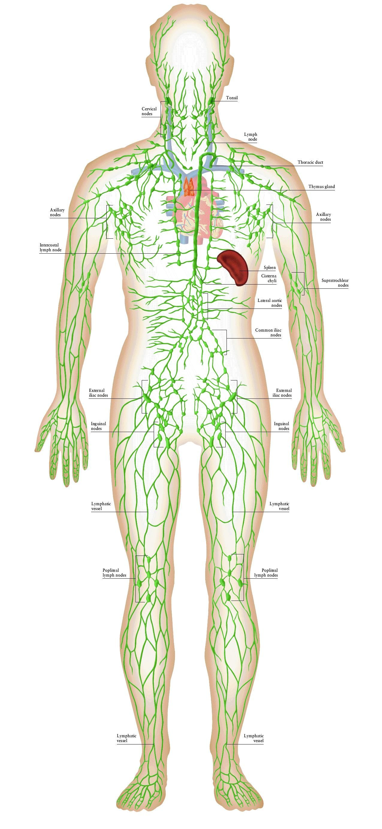 Lymph Circulation Diagram D7909 Fasco Motor Wiring Lymphatic System Great Illustration Md