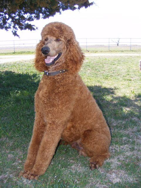 Solo S Ranch Hand Reuben Standard Poodle Poodle Puppy