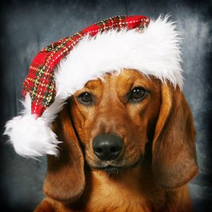 Bark The Herald Dachshunds Sing More Holiday Pictures Christmas