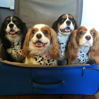 23 Reasons You Need To Follow These Cavalier Puppies On Instagram Cavalier Puppy Cavalier King Spaniel Cavalier King Charles