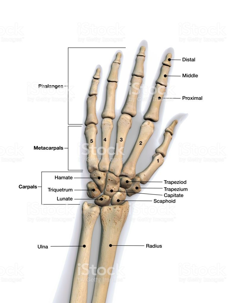 Skeletal Bones Of Wrist And Hand With Labeling Dorsal View Anatomy Bones Human Skeleton Anatomy Human Body Anatomy