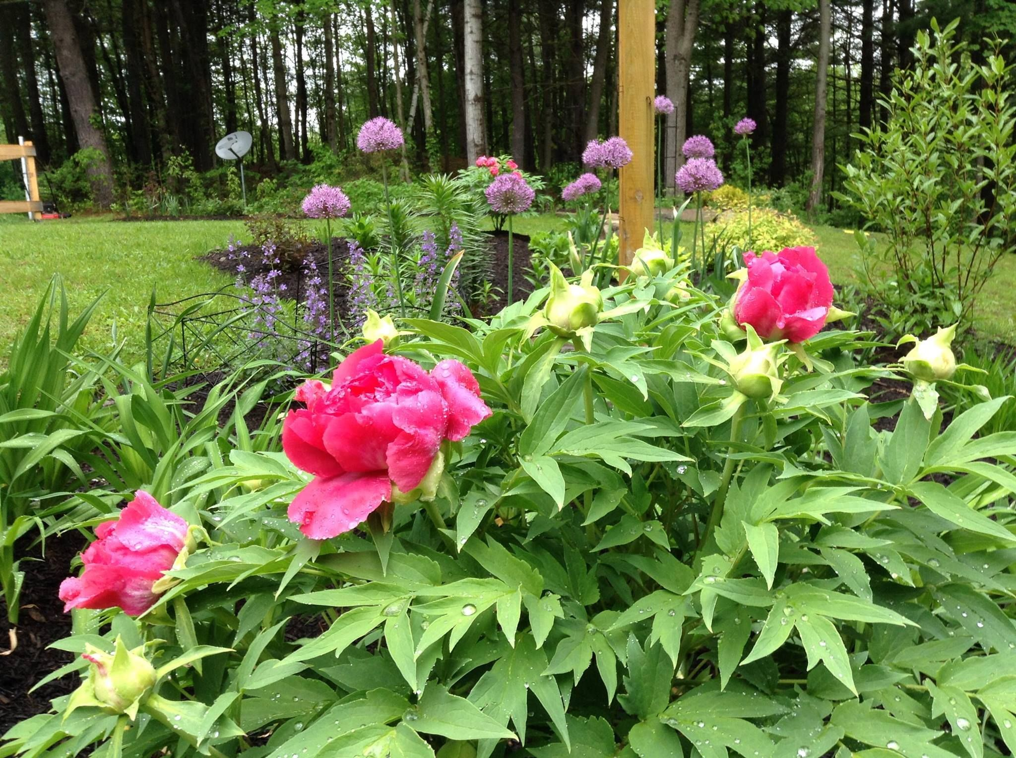 Tree Peony, Allium mixed spring flower bed | My Life in My Garden ...