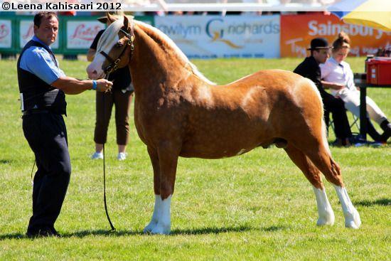 Welsh Section C stallion Cargarsar Silver Phantom in Royal Welsh Show