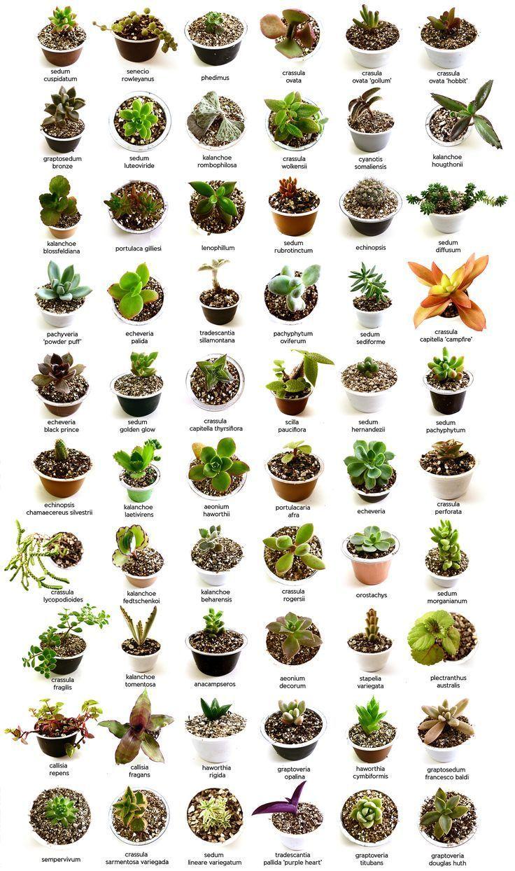 Types Of Succulents Succulent Cactus Succulentgardening