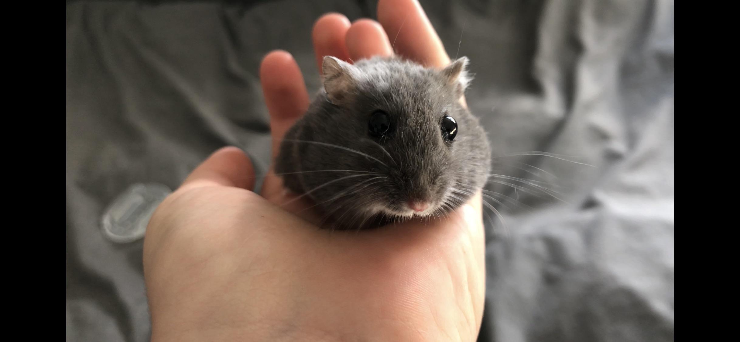 Pin by Jenn Anani on My new pet Dwarf hamster, Russian