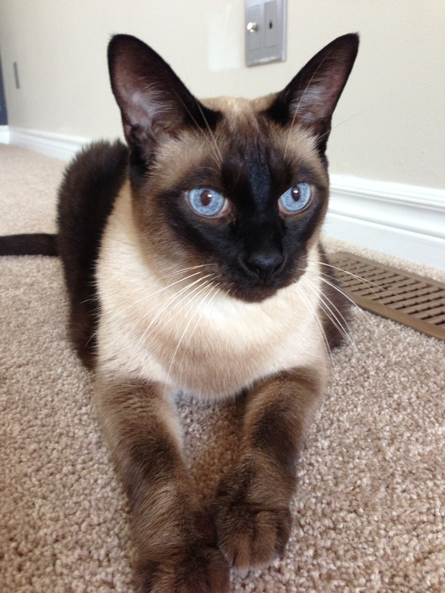 My baby Lou Bear | Siamese & Abyssinian - The Regal Cats ...