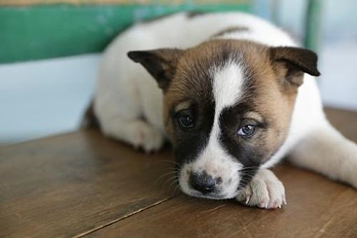 San Antonio Tx Akita Labrador Retriever Mix Meet Bella A Dog For Adoption Http Www Adoptapet Com Pet 15300884 San Antonio Texas Akita Pets Dog Adoption