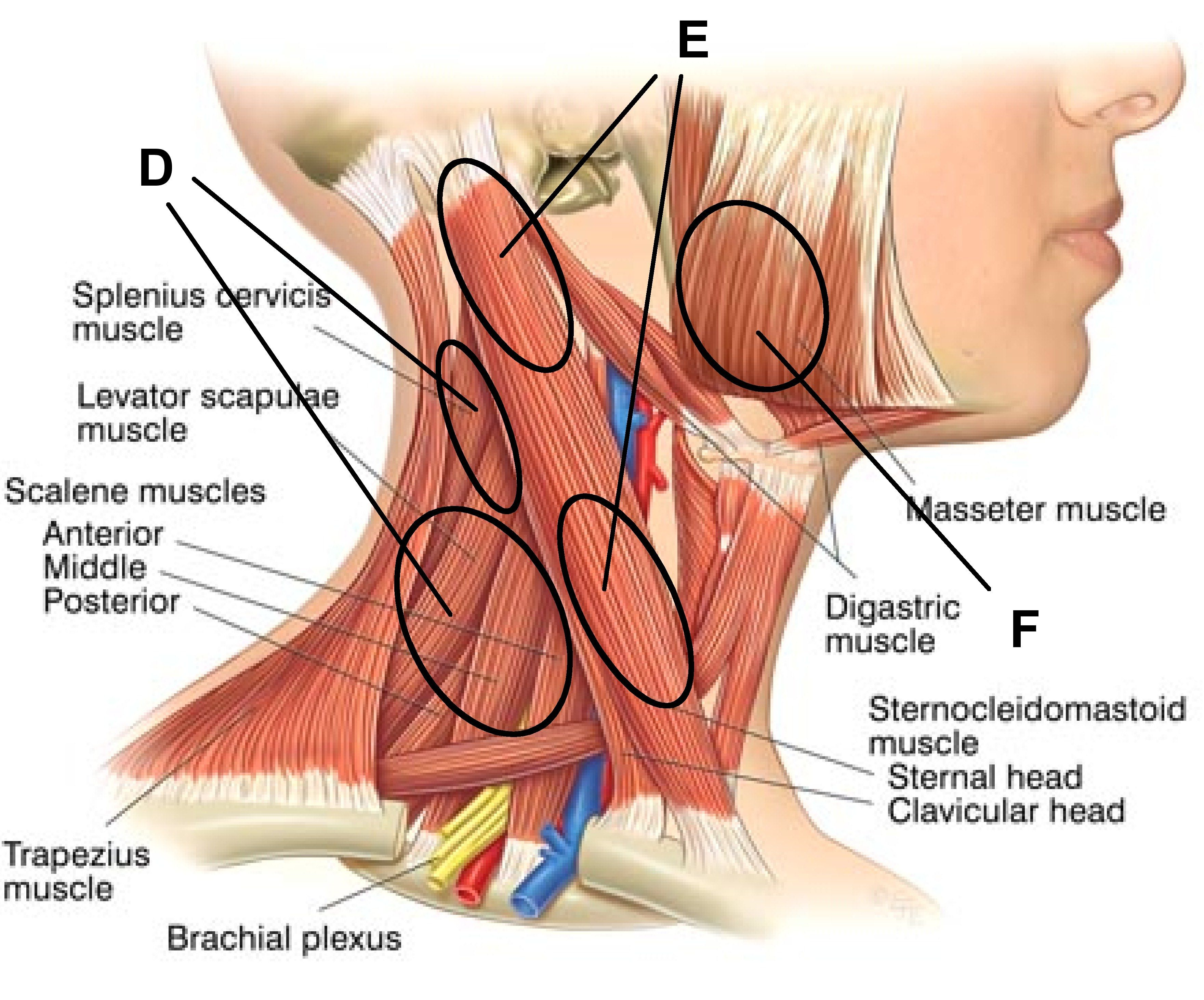 Image result for digastric muscle
