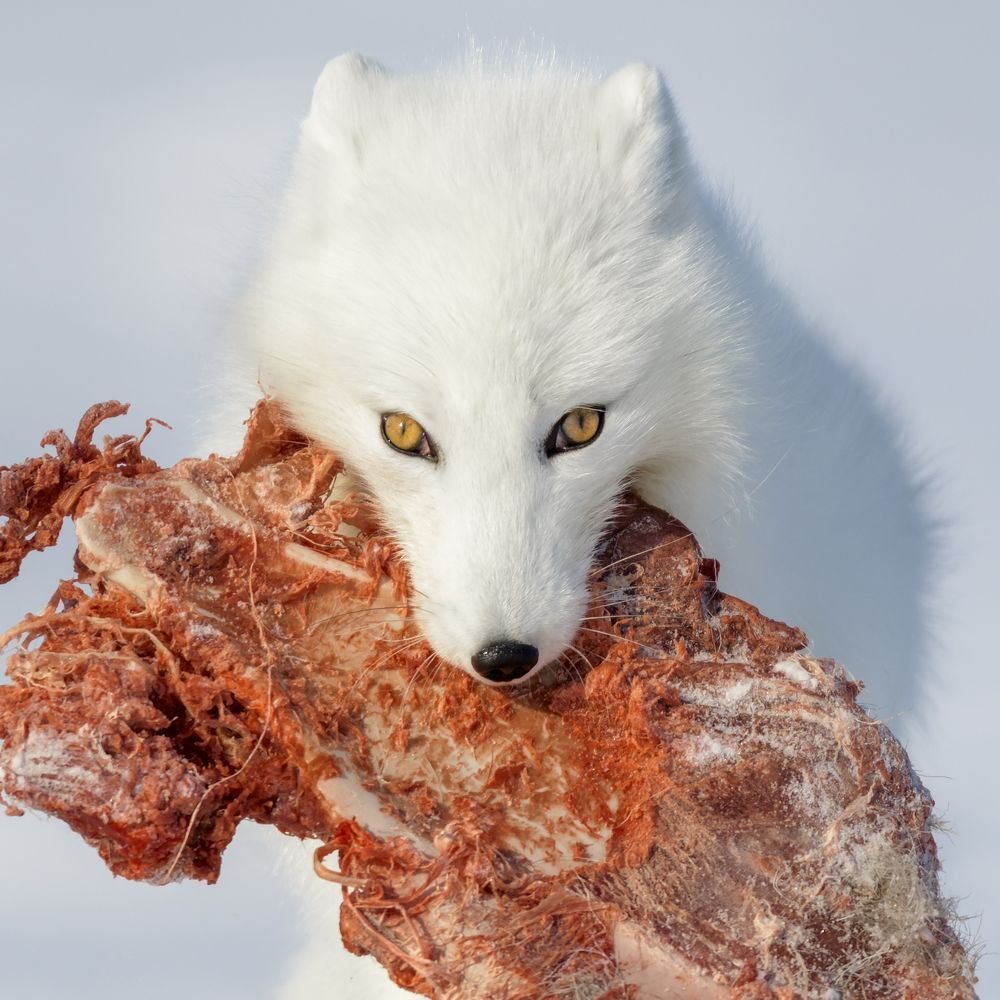Arctic Fox Spirit Animal - Year of Clean Water