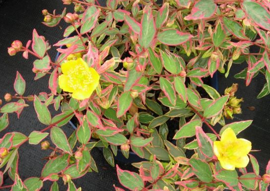 Flowers JULY-OCT - HYPERICUM moserianum Tricolor