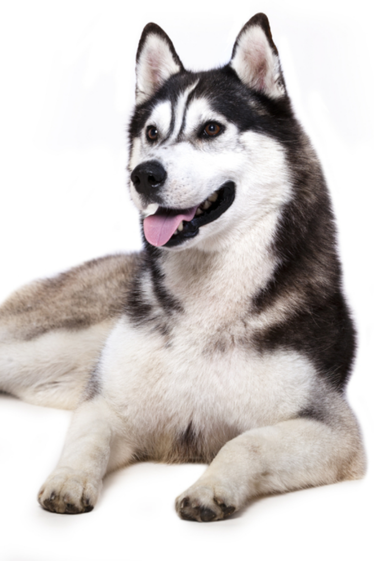 Siberian Husky Siberianhusky In 2020 Siberian Husky Husky Dogs
