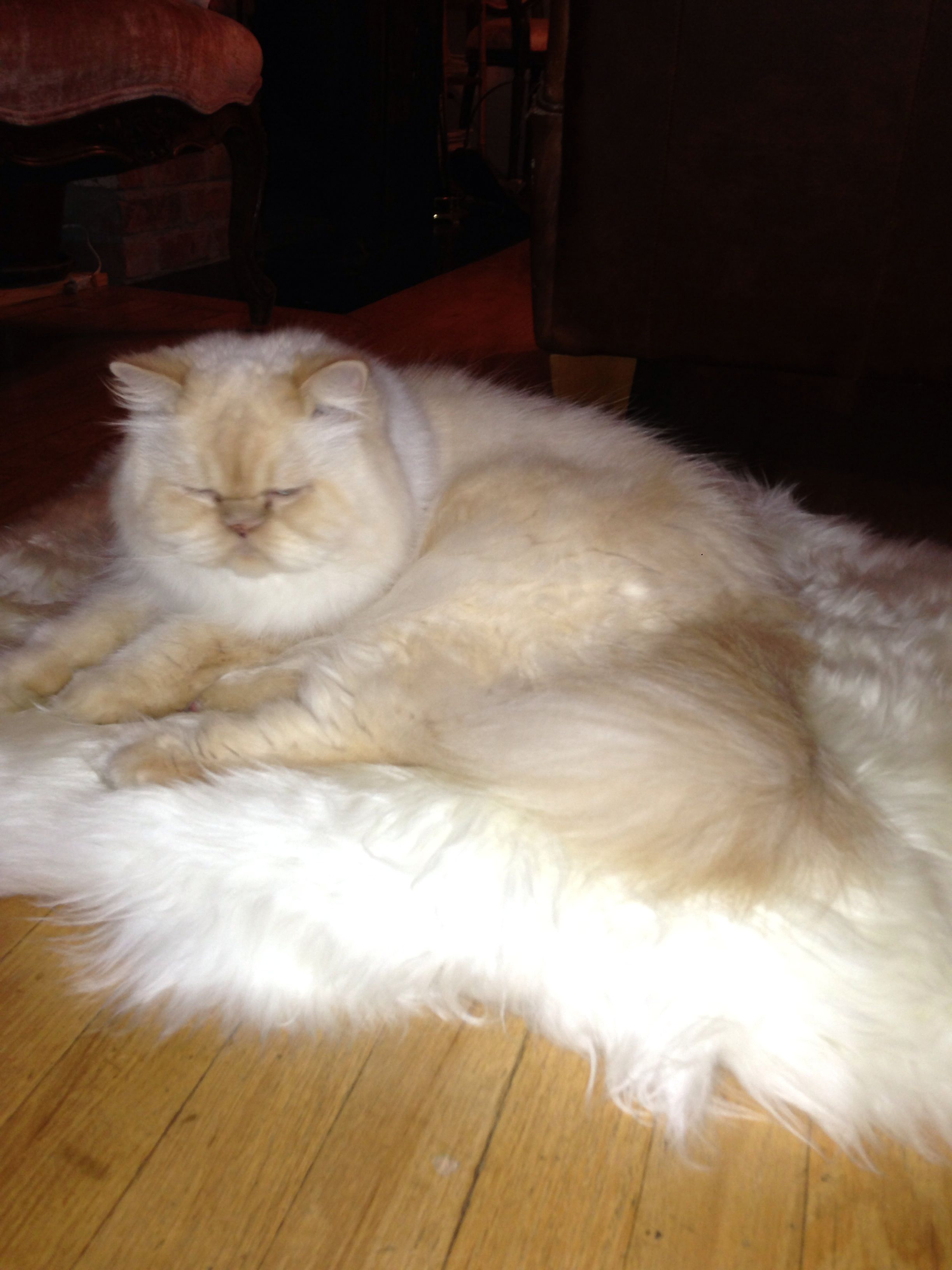 This is the life Himalayan cat Himalayan cat, Cats