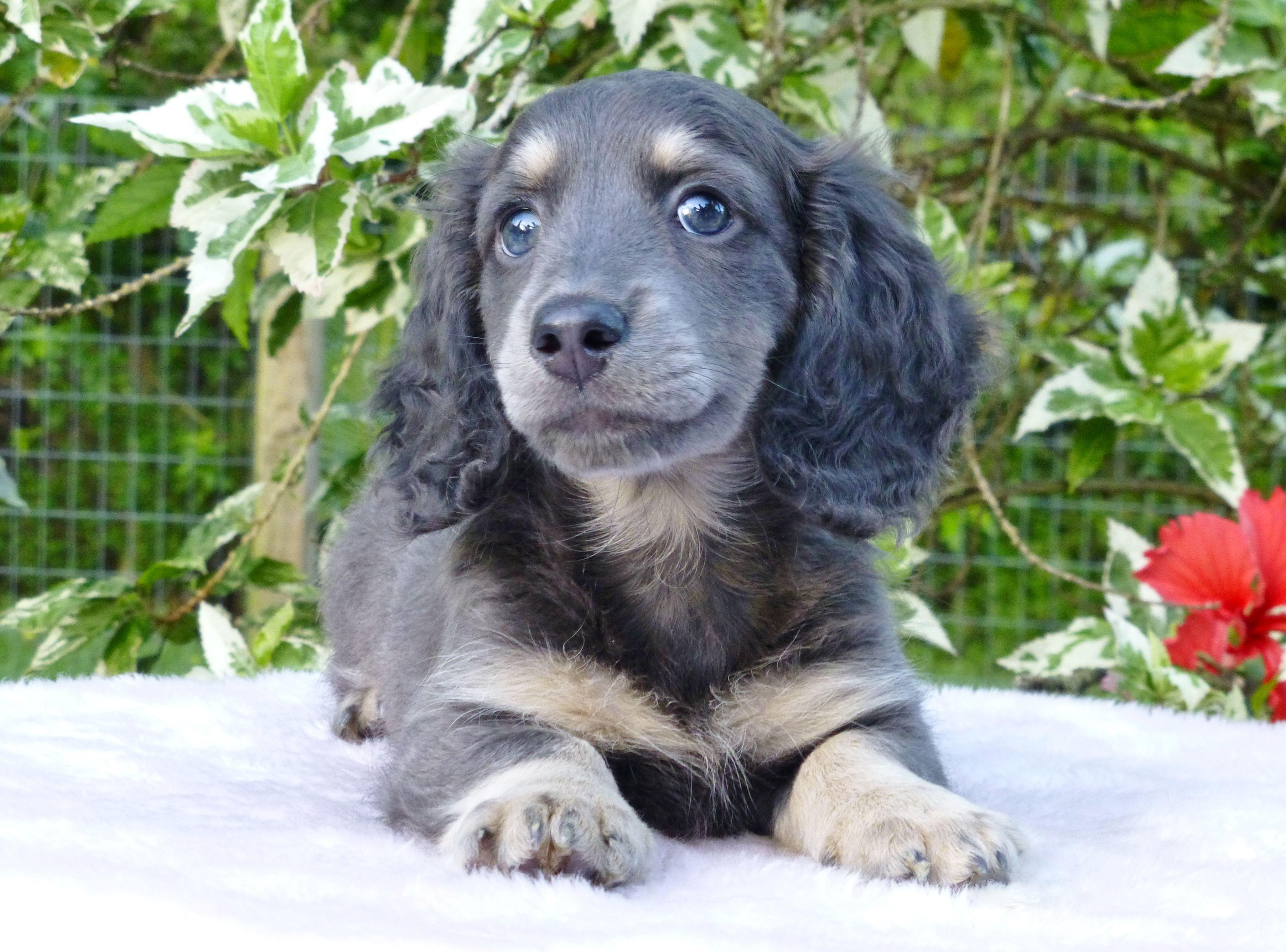 Sapphire Blue Cream Long Haired Mini Dachshund Weenie Dogs