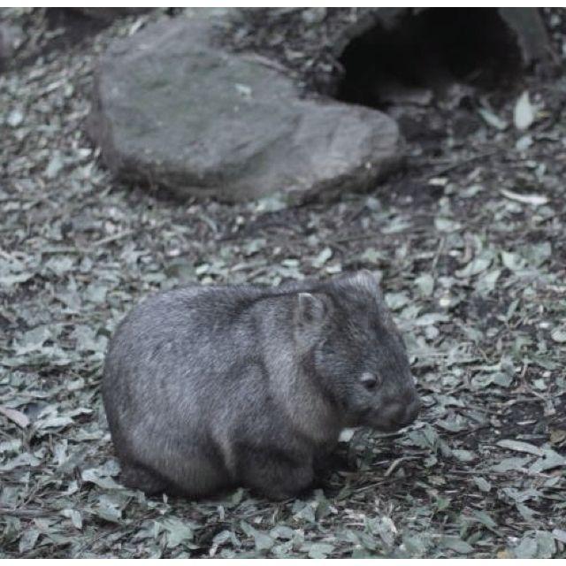 Baby Wombat: Baby Wombat