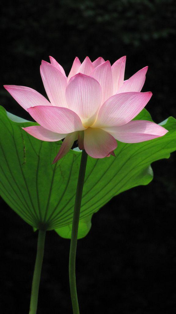 Img1394 lotus flower water lily flower pinterest lotus amazing lotus sacred lotus lotus leaves lotus blossoms exotic flowers lotus flowers mightylinksfo