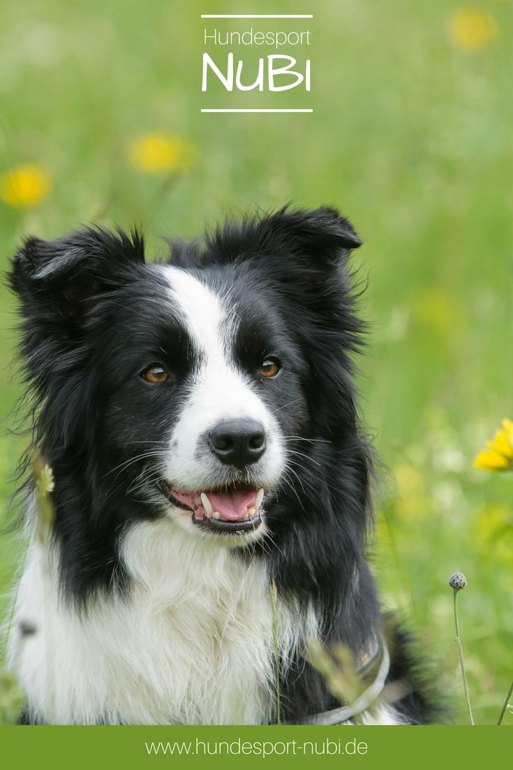 Border Collie hund hunde hundesport Hütehund, Hund