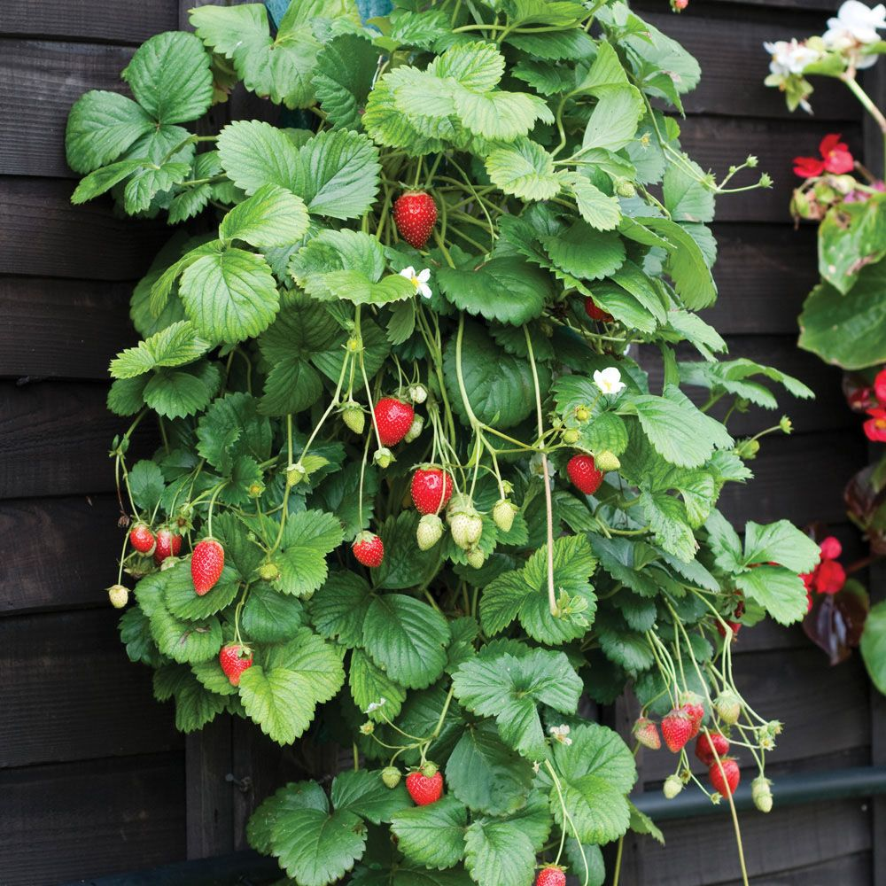 Hanging Strawberry Planter Plant Pots Containers Thompson
