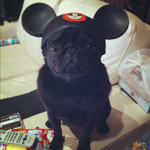 The cuteness!.. I would love too have a black pug.. like I don't have 3 dogs now .. lol !!